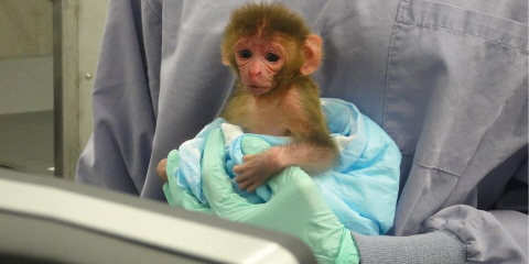 An infant macaque held in front of the Tobii T60 XL eye tracker screen during a test session.